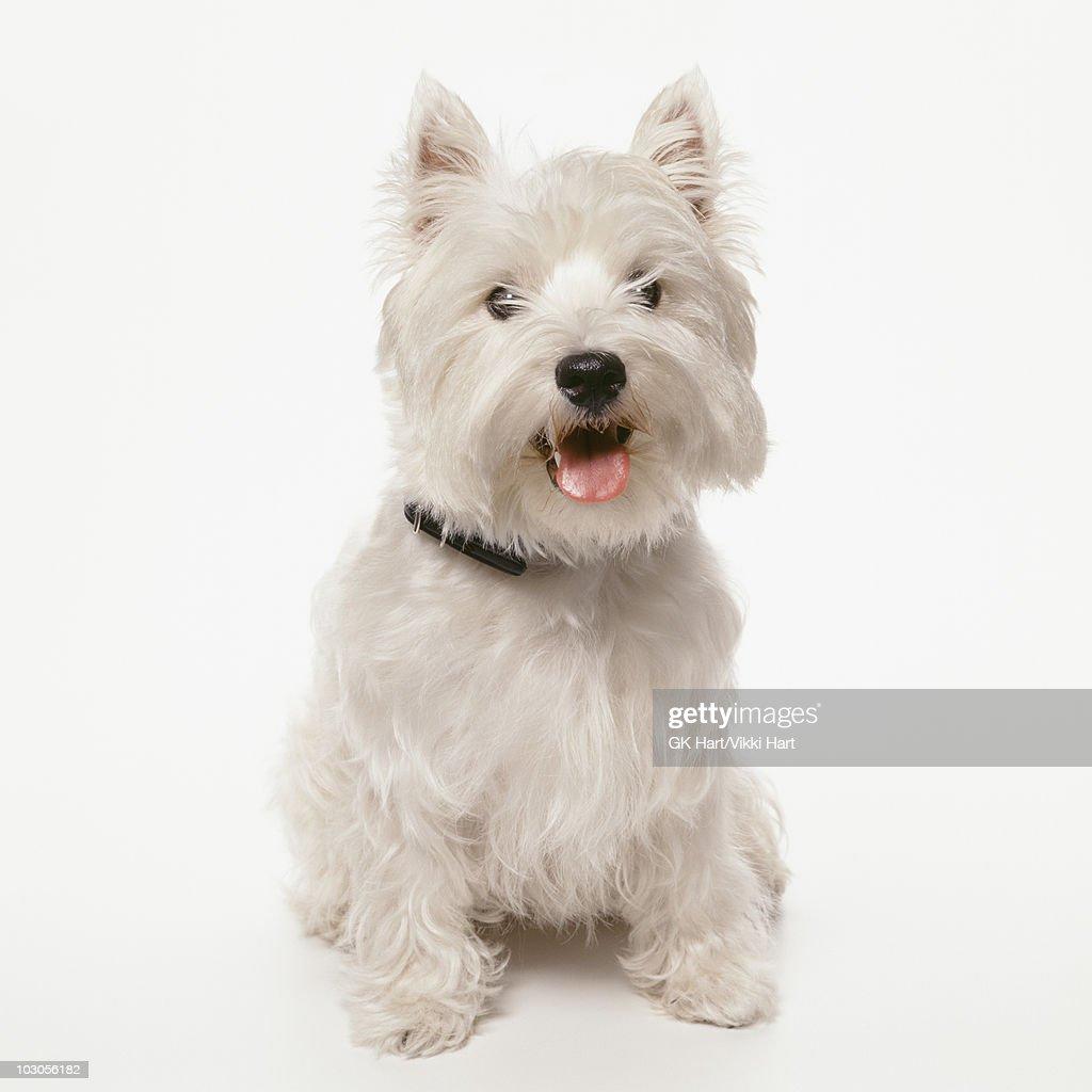 Contemporary Wire Fox Terrier Breeders Virginia Adornment ...