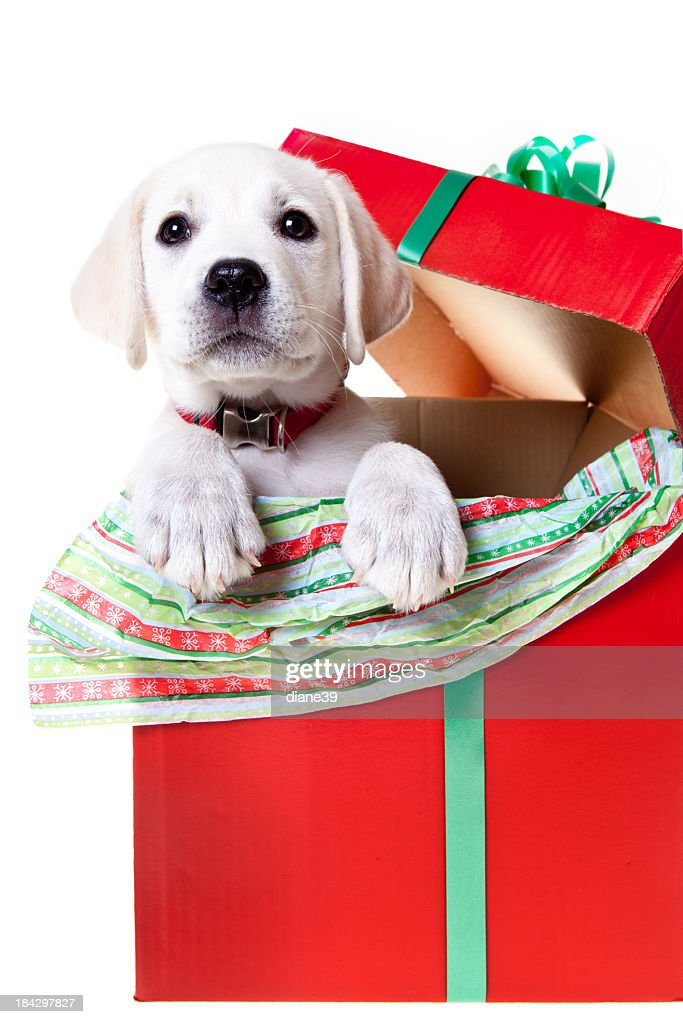 Yellow Lab Puppy In A Christmas Box Stock Photo Getty Images