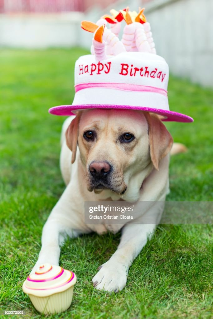 Happy Birthday Labrador Photos And Premium High Res Pictures Getty Images
