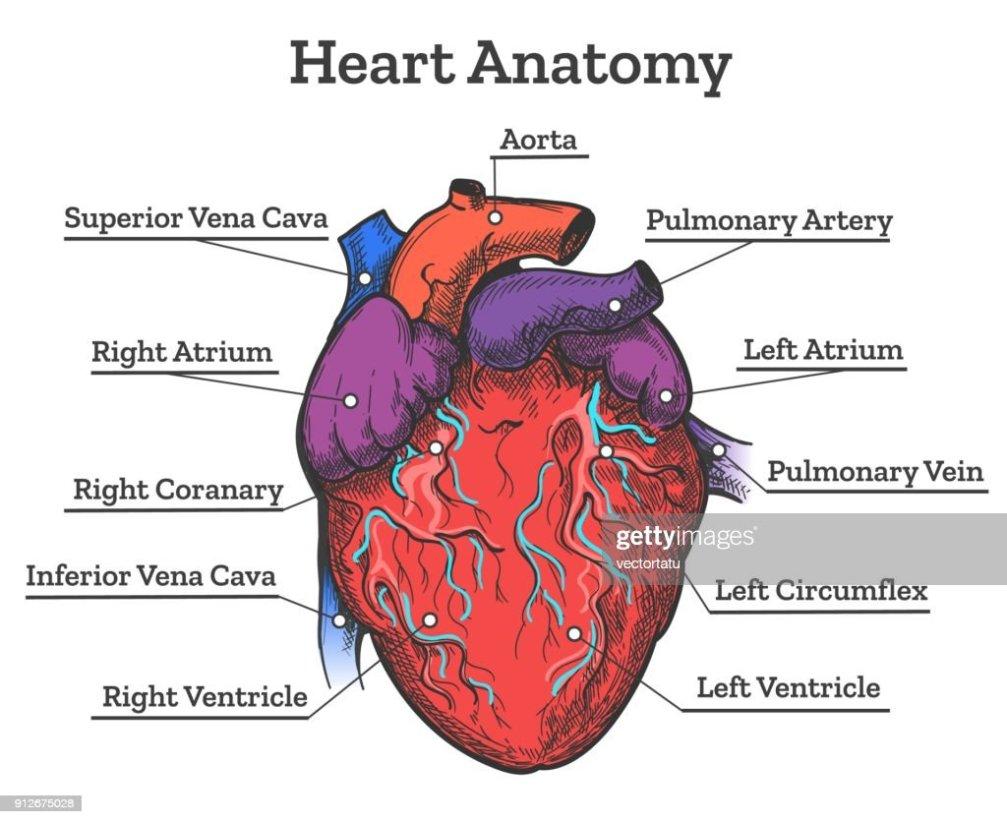 Dibujos De Anatomia Del Corazon Humano Dedemax