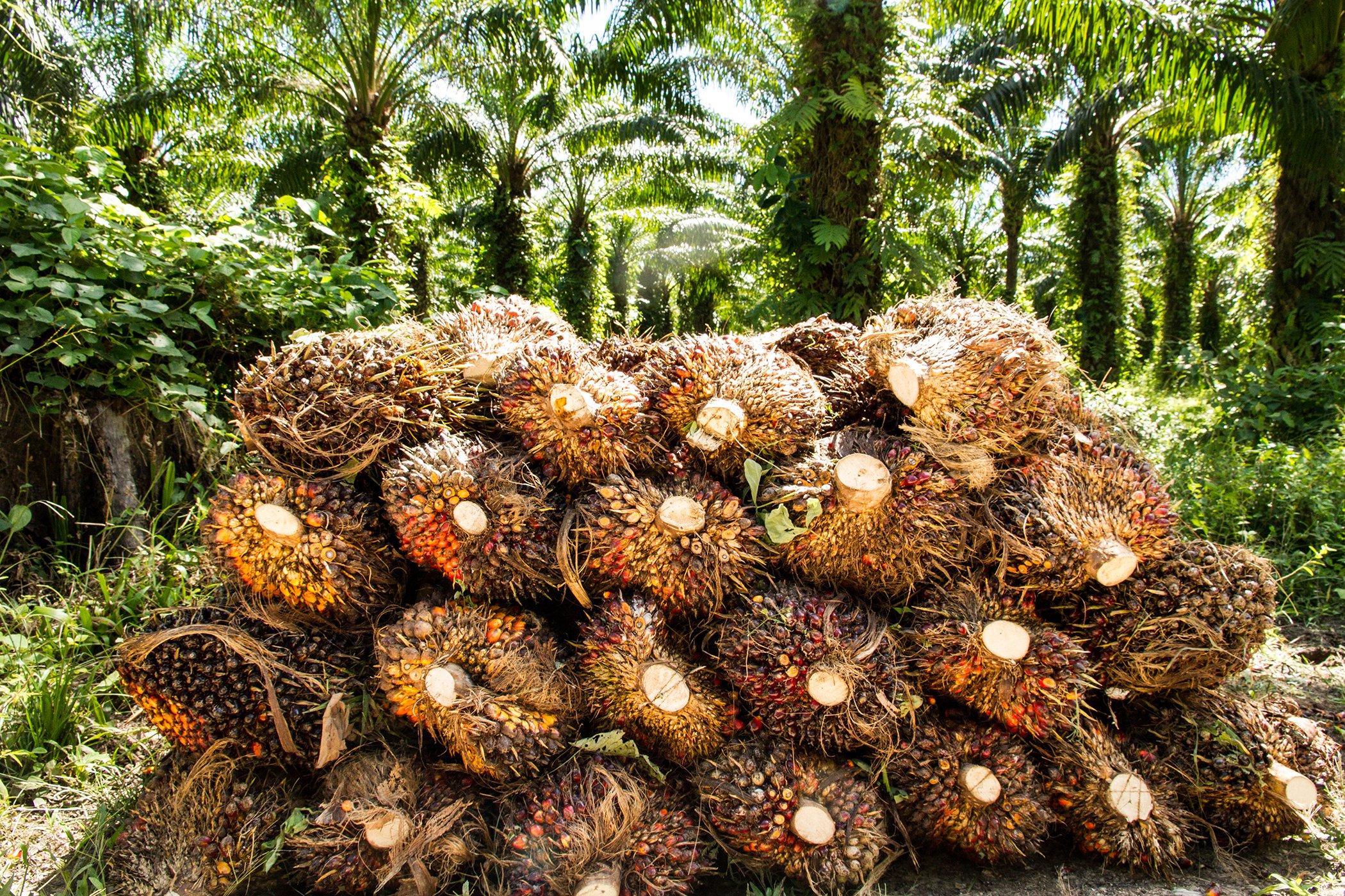 Palm oil-Explainer-Environmental-Impact-002.jpg