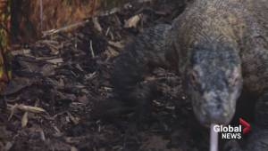 Sneak peek of new Komodo dragon exhibit at Saskatoon zoo