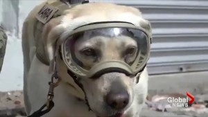 Frida the Mexican Marine dog helps out search-and-rescue efforts after earthquake