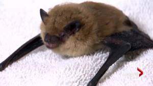 Provincial experts 'concerned' about Alberta bat populations