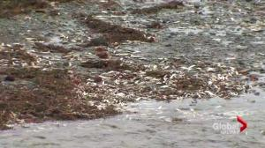 Officials still unsure of what's causing fish kill in Bay of Fundy