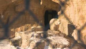 RAW: Orphaned polar bears out and about for the first time at Assiniboine Park Zoo