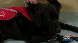 Calgary student diagnosed with autism benefits from having service dog in school