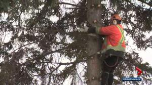 Trees cut down to make way for Edmonton infill project