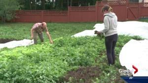 Urban farming a growing trend in Edmonton