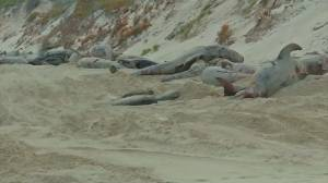 9 more whales die, 6 still alive as removal begins after mass stranding in Australian bay