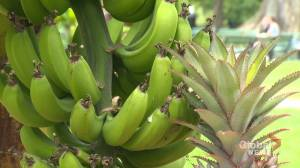 Bananas growing at Halifax Public Garden for the first time