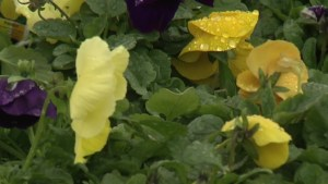 Peterborough greenhouse has some advice for gardeners during this  cool, wet spring.