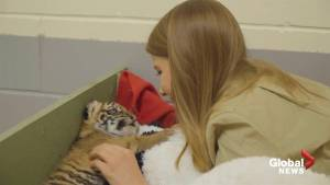 Australia Zoo unveils incredibly adorable tiger cub