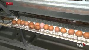 Amazing Agriculture Adventure: Egg farming