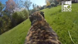 GoPro camera strapped to Cheetah running at full speed