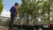 Play video: Maple trees in parts of the GTA threatened by soil-borne fungi.