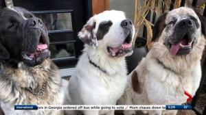 3 Saint Bernards find forever home