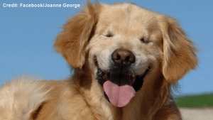 """Smiley"", the blind golden retriever from Ontario that's gained worldwide attention"