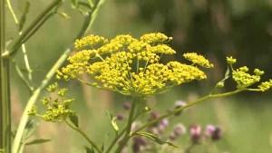 Dangerous plant spreads throughout Kingston