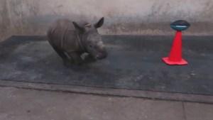 Toronto Zoo's white rhino calf makes Super Bowl 52 prediction