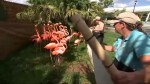 Florida zoo moves to protect pink flamingos from Hurricane Irma