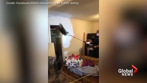 Raccoon family falls through ceiling of Michigan home