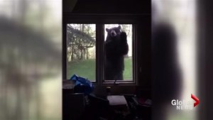 Video shows bear pawing at window of Calgary area home
