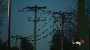 A Murder of Crows descend on Burnaby every night