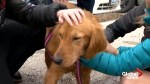 20 Golden retrievers rescued from Cairo join new families in Ontario