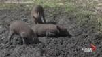 Rare Babirusa Pig Triplets Born at Chester Zoo