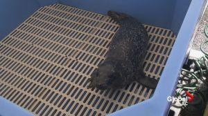 Rescued harbour seals at Vancouver Aquarium's marine mammal centre