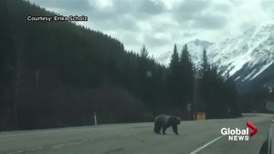Grizzly bear crossing highway in Kananaskis stops traffic