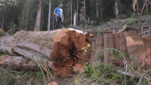 Disturbing finding about destruction of old-growth rainforest in B.C.