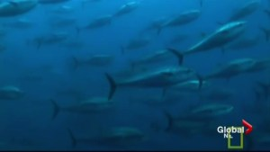 Decreased pollution helping the Atlantic bluefin tuna population