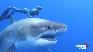 Researchers come face-to-face with massive shark in stunning video