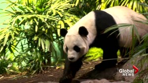 Calgary Zoo staff hope lessons learned in China help panda breeding in 2019: 'We're super excited!'