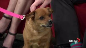Adopt a pet: Breezy the pug cross