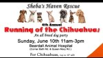 The Running of the Chihuahuas