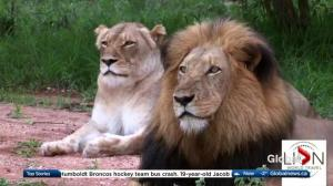 AMA Travel: Get up close to lions in Africa