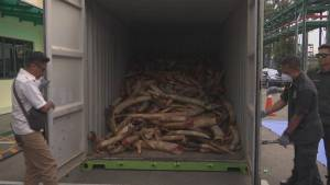Malaysian authorities destroy $20M in seized ivory