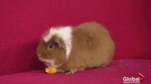 Adopt a Pet: Percy the guinea pig