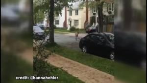 Deer seen running through downtown, south end Halifax (00:26)