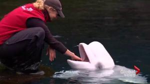 """Necropsy on aquarium beluga """"inconclusive"""""""