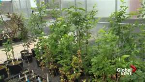 Fredericton based researcher helping to restore oilsands and mining sites with plants