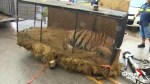 Caged tiger found in abandoned house by pot smoker who thought he was hallucinating