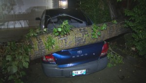 Tree falls onto car after thunderstorm rolls through Winnipeg