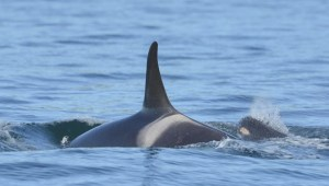 A cross-border effort is underway to save ailing orca