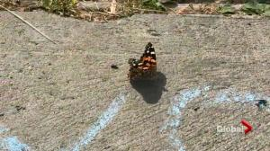 Painted lady butterflies invade Quebec