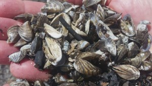 Zebra mussels wash up along Grand Beach, Manitoba