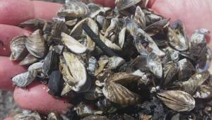 Zebra mussels wash up along Grand Beach, Manitoba
